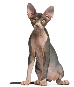 Author photo of Giguhl the demon sidekick to Sabina Kane. The photo shows a sphynx cat with green eyes..