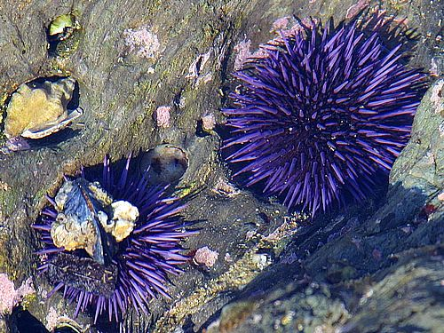 Two purple sea urchins: Public domain photo found here: http://www.public-domain-photos.com/animals/erchin-4.htm